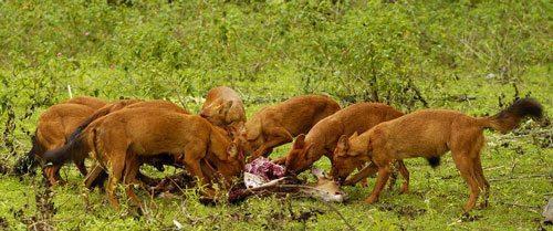 стая горных волков, едят добычу, красные волки