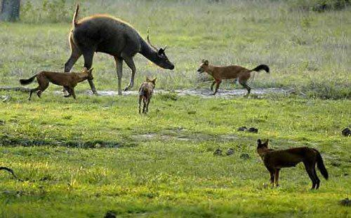 Красный волк, атака, во время охоты,стая