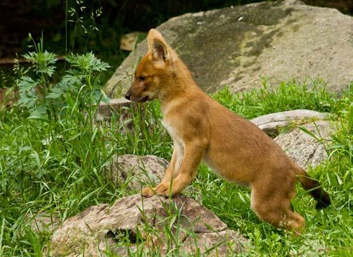 щенок красного волка