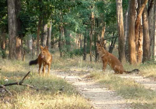 Красные волки, в лесу,