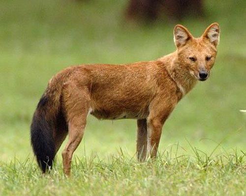 Красный-волк--горный-волк,-гималайский-волк-или-буанзу