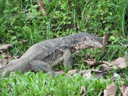 Полосатый варан, большая ящерица, рептилия