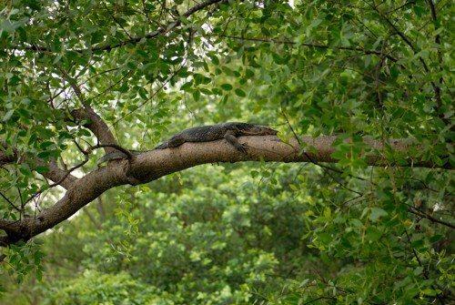 Полосатый варан, огромная ящерица, рептилия, на дереве, в лесу