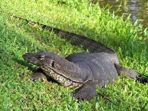 Полосатый варан, крупная ящерица, рептилия, на траве, возле воды