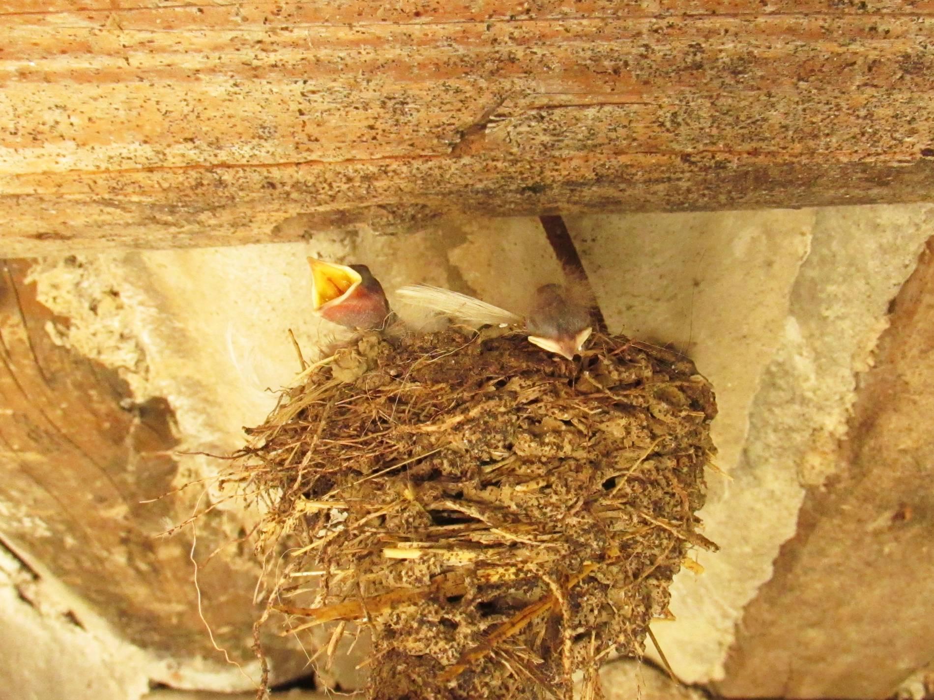 фото птенцов ласточки в гнезде