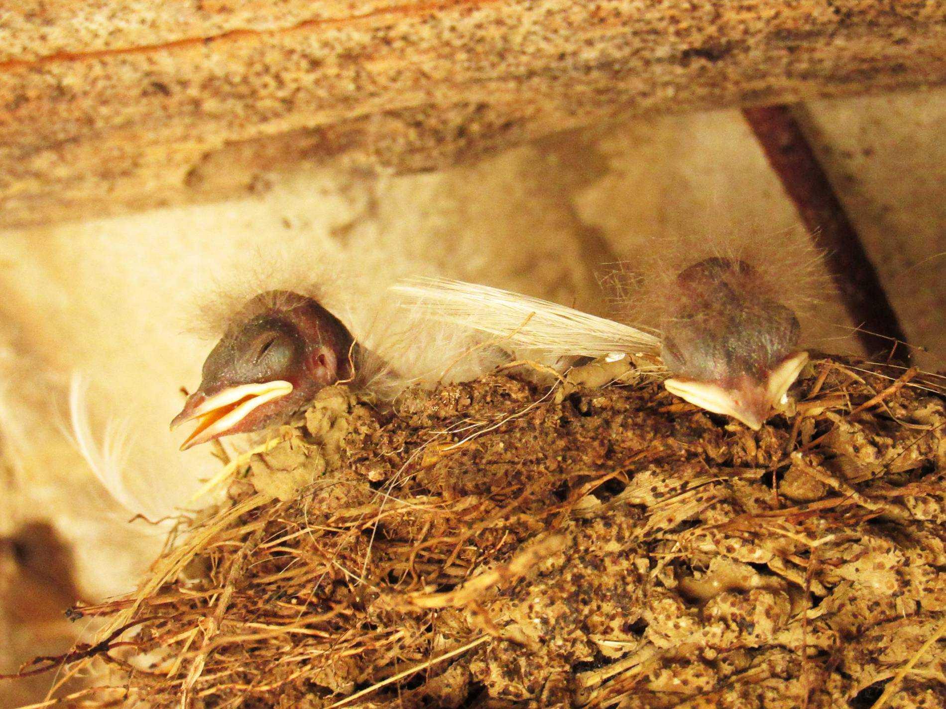 фото птенцов ласточки