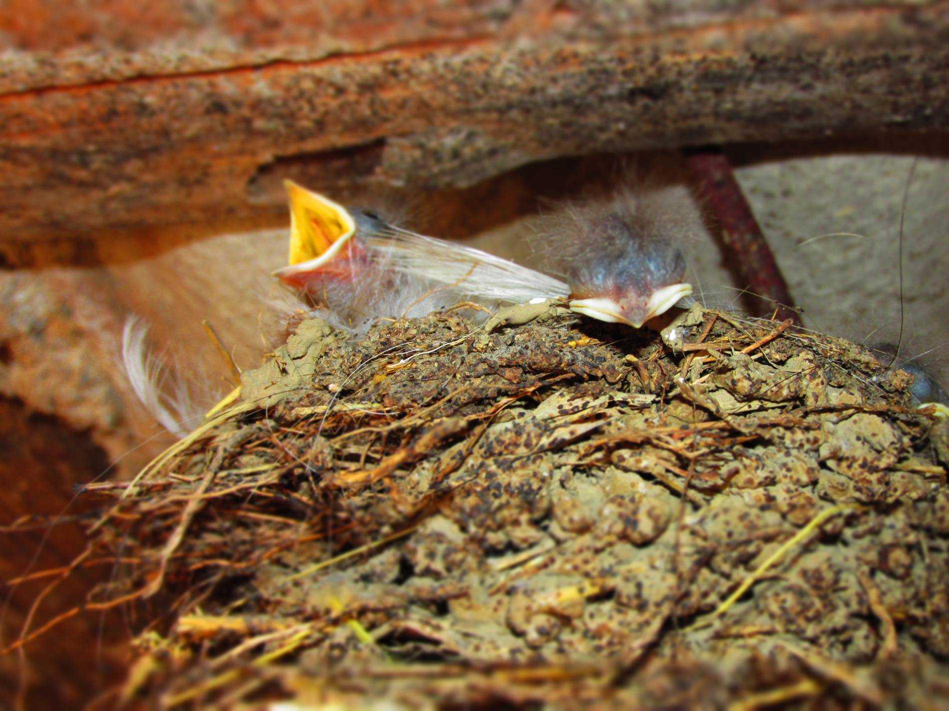 фото птенцы ласточки в гнезде в гнезде