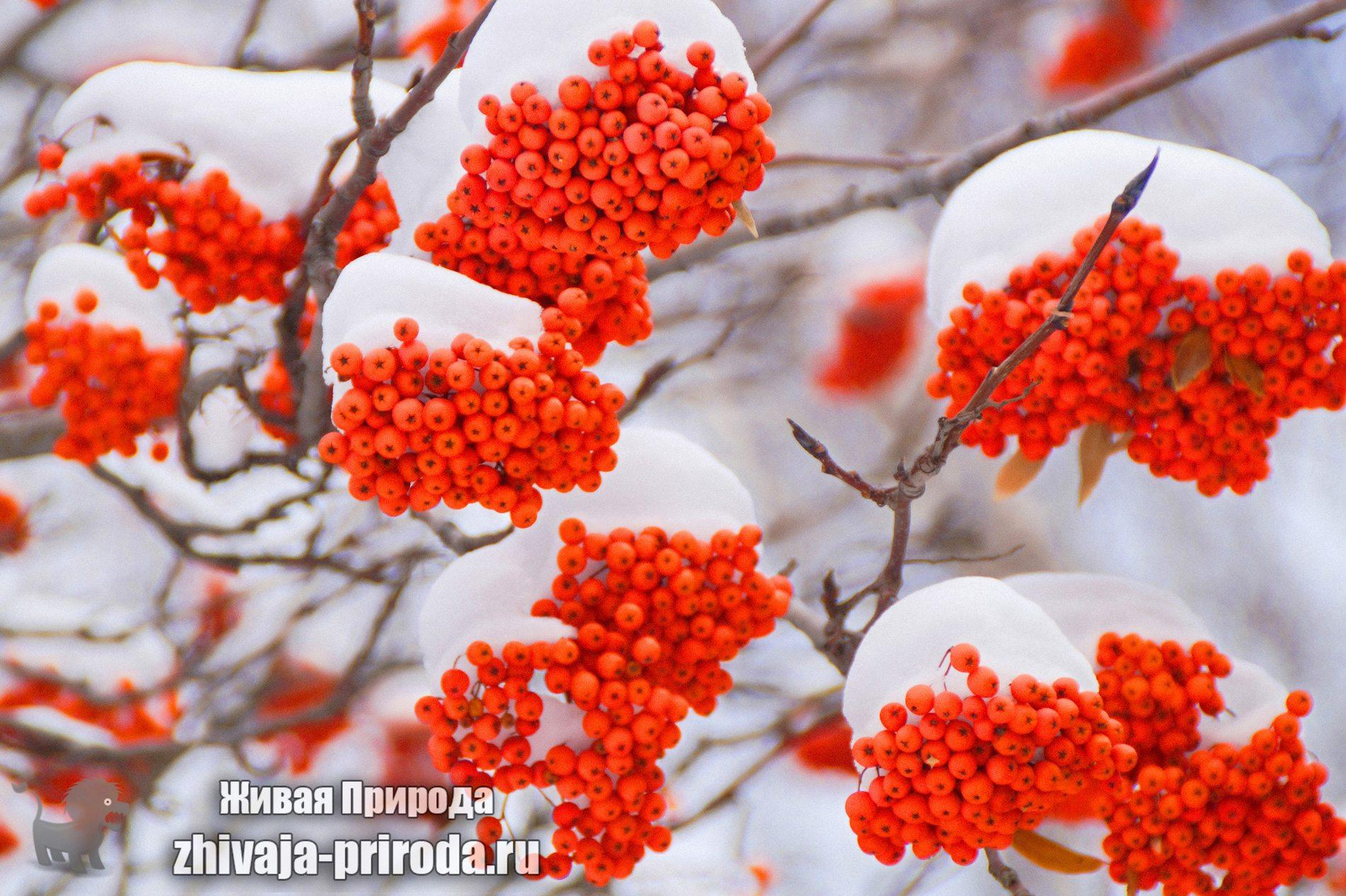 фото-рябина-под-снегом
