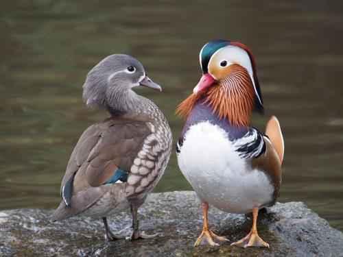 Мандаринка, или мандаринская утка, или китайская утка