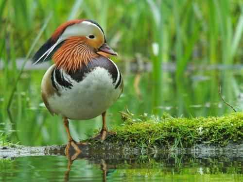 среда обитания утки мандаринки