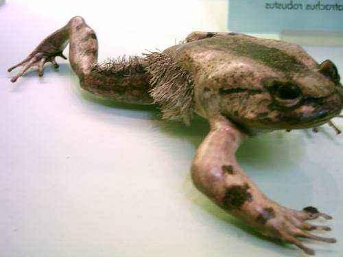 Волосатая лягушка, странная лягушка,