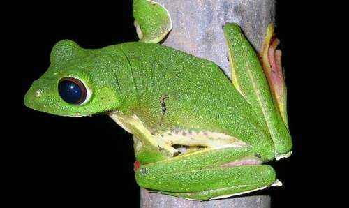 Летающая лягушка, прыгучая лягушка, на дереве, зеленая лягушка, необычная лягушка