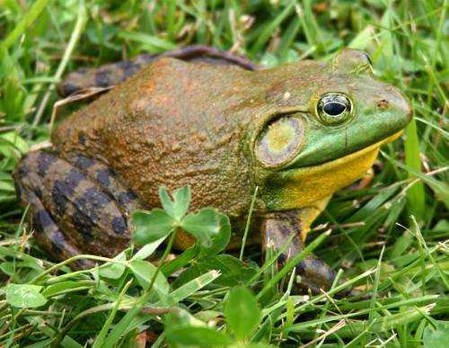 Лягушка бык, крупная лягушка, удивительная лягушка, в траве