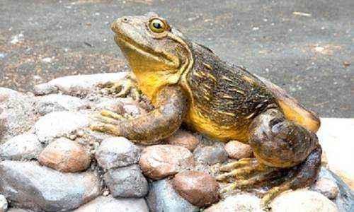 Лягушка голиаф, большая лягушка, огромная лягушка