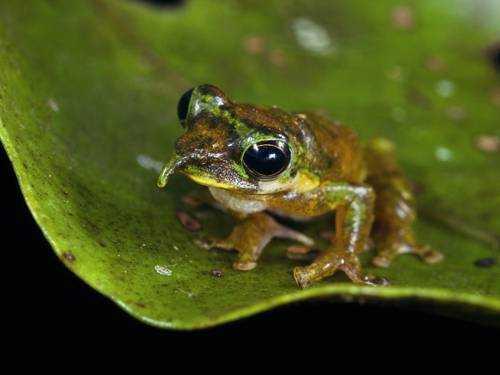 Остроносая древесная лягушка, странная лягушка, необыкновенная лягушка