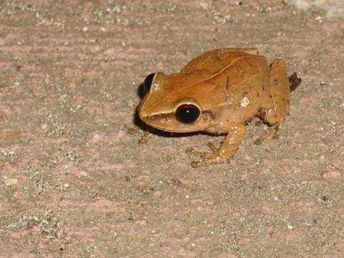 лягушка кокой, ядовитая лягушка, опасная лягушка,