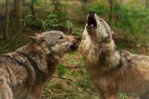 волки в парке Hundshaupten