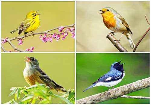 певчие птицы, пение, факты, птицы на ветке, пение птиц