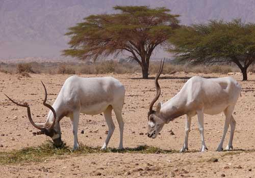 Аддакс, антилопа мендес, две антилопы, животные, песок, трава, дерево, пустыня