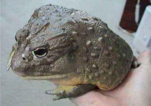 Африканская роющая лягушка