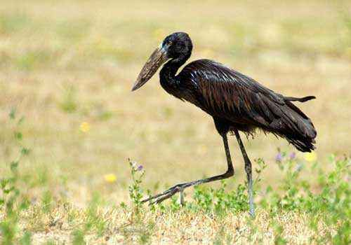 Африканский-аист-разиня, черная птица, сухая трава, бег