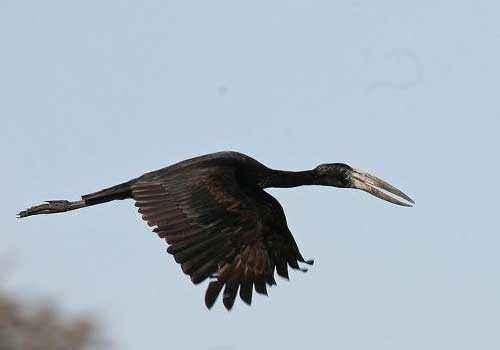 Африканский аист-разиня, полет, черная птица, небо, воздух, прит