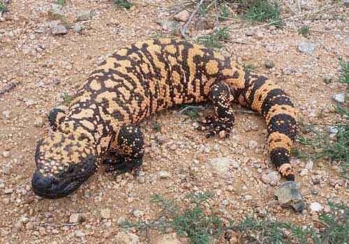Аризонский ядозуб, ядовитая ящерица,