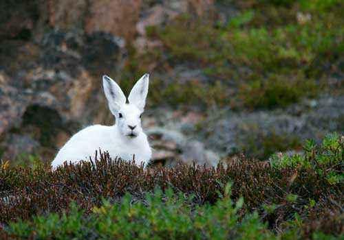 Арктический заяц беляк, белый заяц