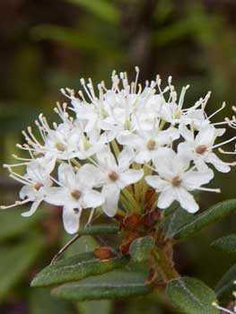 Багульник, белые цветы