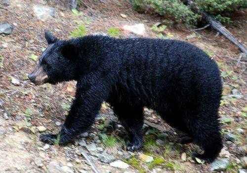 Барибал, черный медведь,