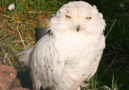 белая сова, полярная сова, птица