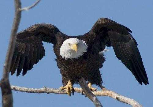 Белоголовый орлан, птица, на ветке, небо