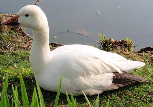 белый гусь, птица, вода, трава