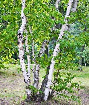 береза бумажная, дерево