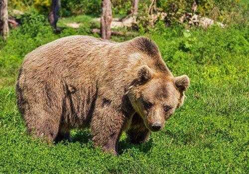 бурый медведь, гризли, трава, деревья