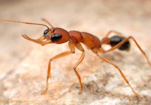 Фаэтончик-красный, муравей, крупным планом
