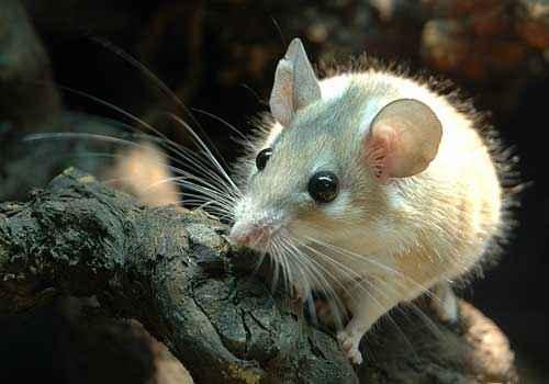 иглистая мышь, белая мышь