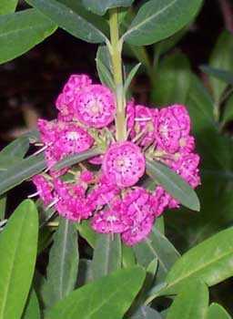Кальмия узколистная, малиновые цветы, зеленые листья