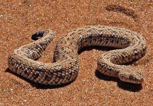 Карликовая африканская гадюка, песок, пустыня