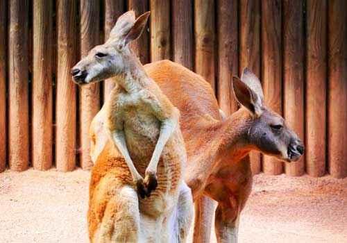 пара кенгуру, два кенгуру, животные