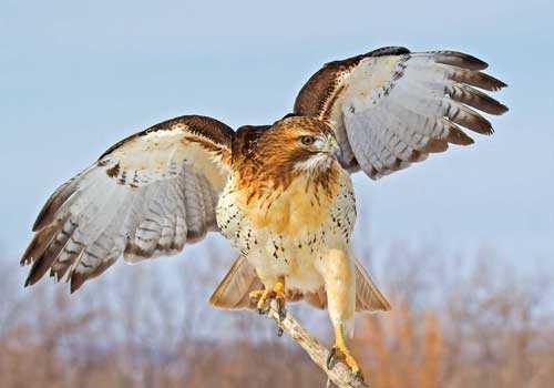 Краснохвостый сарыч, птица, в полете