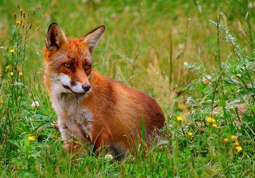лисица, рыжая лисица, трава