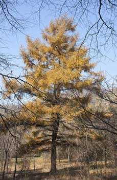 Лиственница Гмелина, хвойное дерево, небо