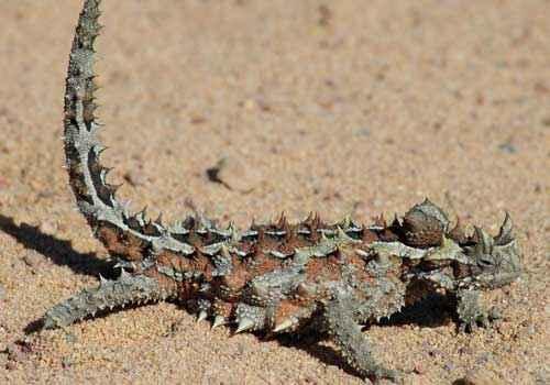 Молох, ящерица, пустыня, песок