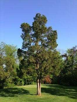 Можжевельник виргинский, деревья, голубое небо