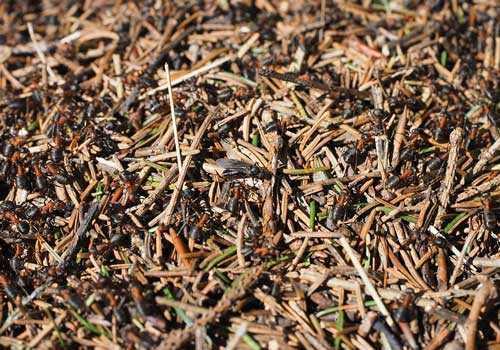 муравьи, муравейник,