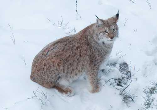 рысь, снег, дикая кошка,