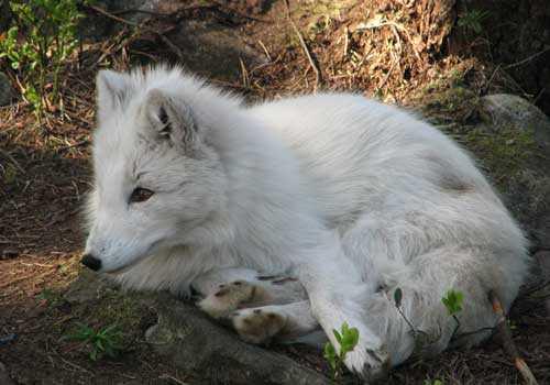 песец, белая лиса, полярная лиса