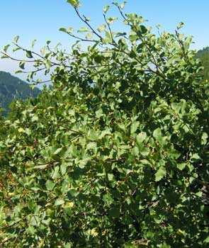 ольха зеленая, дерево