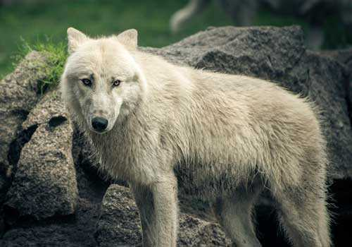 полярный волк, белый волк,